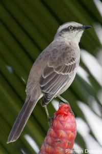 Chalk-browed mocking bird