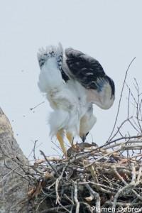 Crested Eagle juv