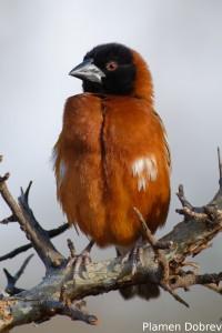 Chestnut Weaver