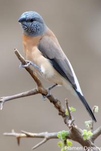 Grey-Headed Silverbill