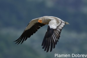 Egyptian vulture/Египетски лешояд