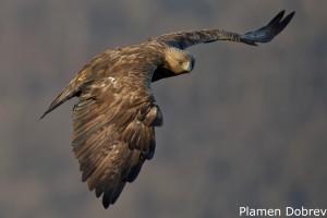 Скален орел/Golden eagle