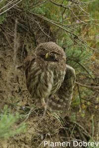 Little owl/Кукумявка