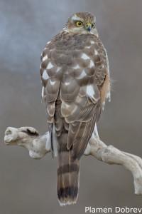 Малък ястреб/Sparrowhawk