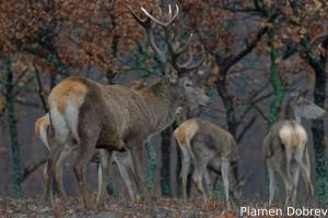 Red deer/Благороден елен