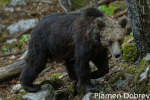 Brown bear/Кафява мечка