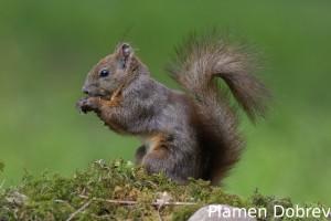 Red squirrel/Обикновена катерица