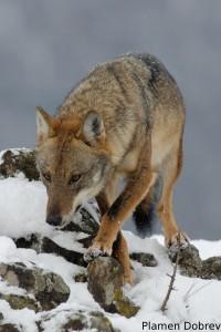 Wolf/Вълк