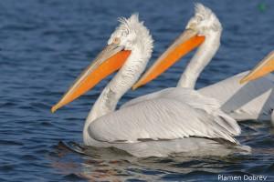 dalmatin_pelican_55
