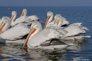 Dalmatin pelican/Къдроглав пеликан