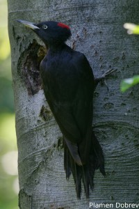 Black woodpecker/Черен кълвач
