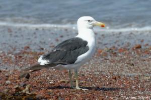 Belchers Gull